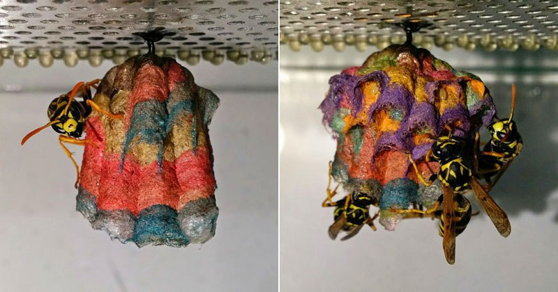 In an interesting experiment, biology student Mattia Menchetti—who is currently pursuing his Masters in Science at the University of Florence—left a stack of colored construction paper for a group of European Paper Wasps and photographed the resulting nest they created. Menchetti posted the series of close-up photos on his blog, Notula Zoologica, and the rainbow-colored results are quite fascinating. For more, you can check Mattia's official website and blog and also find him on Twitter and Facebook.